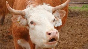 At the Cow Wash thumbnail