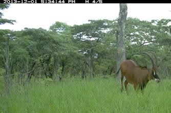 Photo: The hybrid bull Scar O macho híbrido Scar