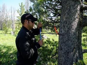 Photo: Dash coring a whitebark