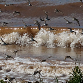 sandpipers by Shawn Chapman - Animals Birds