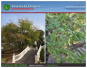 Photo: Acacia de tres espinas