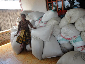 Photo: SRI rice grown in Timor Leste.  [Photo courtesy of Movimento Co-operativa Econômica Agricoltura  (MCE-A) SRI program, Timor Leste, July 2015]