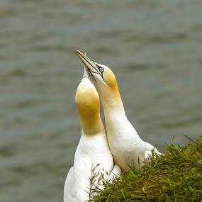 gannetts by Eddie Leach - Animals Birds ( bird, gannett, nature, wildlife, birds,  )