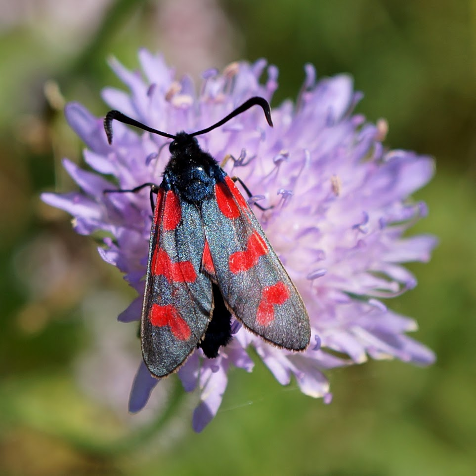 Sint-jansvlinder - Zygaena filipendulae