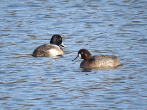 Photo: 27 Jan 14 Priorslee Lake A fine pair. (Ed Wilson)