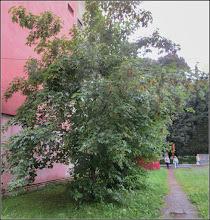 Photo: Artar - Paltin de munte (Acer pseudoplatanus)  - din Turda, de pe Str. Rapsodiei - 2018.07.08
