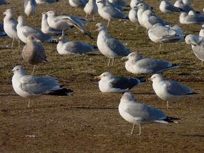 Photo: Lesser Black-backed Gull