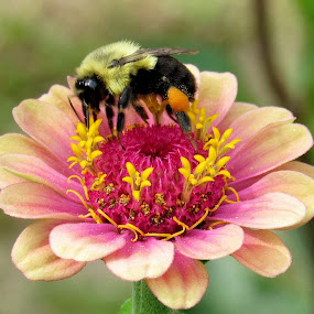 Bee On A Zinnia by Lynne Miller - Animals Insects & Spiders ( lynne miller, zinnia, maine, bee, flower,  )