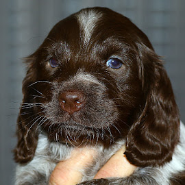 Small Spaniel Pup by Chrissie Barrow - Animals - Dogs Puppies ( spaniel, white, puppy, portrait, brown, dog )