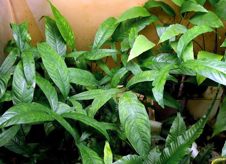 Анубиас копьевидный (Anubias hastifolia)