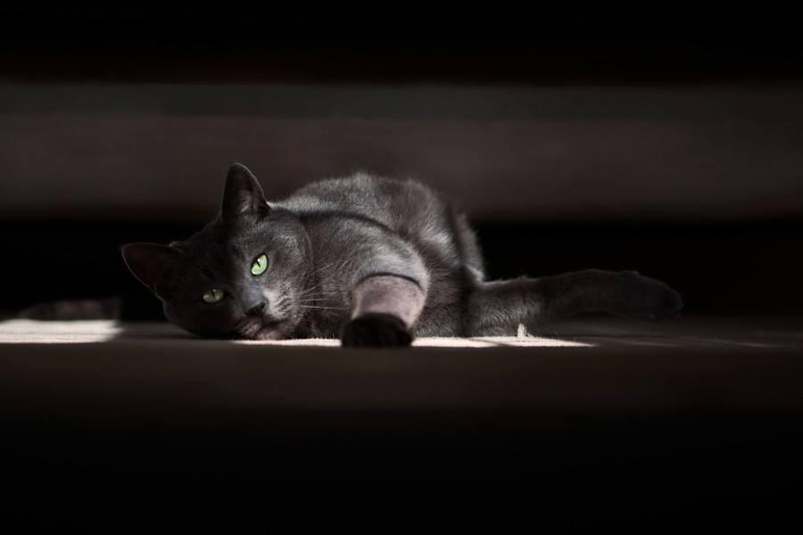 Cat Top Model by Victor Santiago - Animals - Cats Portraits