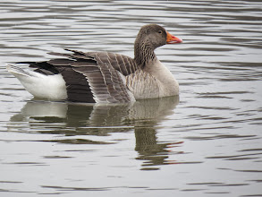 Photo: 30 Jan 14 Priorslee Flash Here is the Greylag Goose with the broken wing at The Flash: seemed quite happy today. (Ed Wilson)