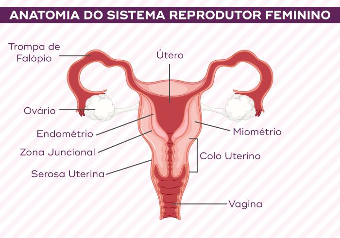 Anatomia do sistema reprodutor feminino