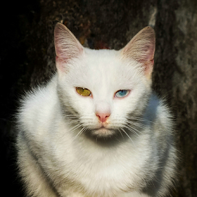 She is special... by Milena Radić - Animals - Cats Portraits ( colour, white, white cat, cat, animal, portrait, eyes, pet,  )