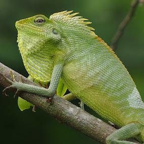 si Londock by Dedi Sukardi - Animals Reptiles