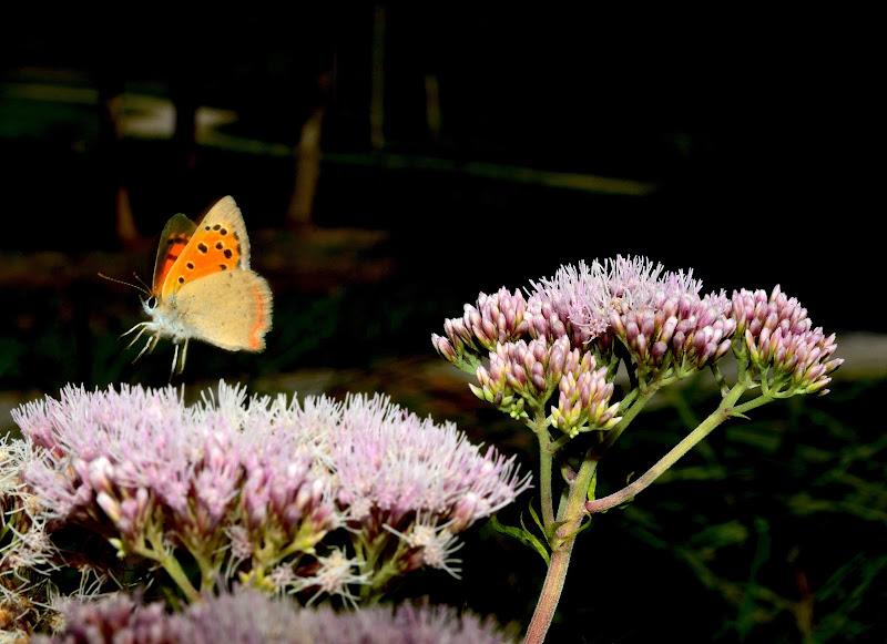 Volo di farfalla di benny48