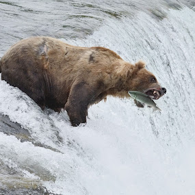 Salmon Catch by Stephen Beatty - Animals Other Mammals (  )