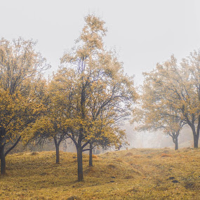 Tree in fog.. by Laurentiu Barbu - Nature Up Close Trees & Bushes ( home, foggy, nature, tree, autumn, fog, leaf, yellow, leaves, landscape )