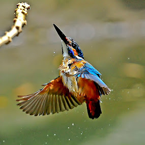 just diving by ZW Young - Animals Birds