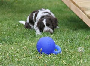 Photo: erst noch zu Ende schnüffeln oder direkt den Ball in Beschlag nehmen?