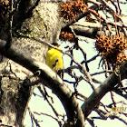 lesser gold finch