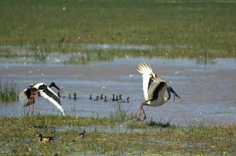 Photo: Kakadu NP - excellent opportunity to view native birds (Jabiru is this one) from hide on Mamukala Wetlands/ pozorovanie rozmanitych nam neznamych operencov (toto tu je Jabiru).