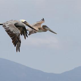 by Sarah Hart - Animals Birds