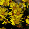 Maryland goldenaster