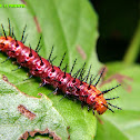Tawny Coster caterpillar