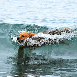 Riding the Wave by Christine McEwan - Animals - Dogs Playing ( swimming, golden retriever, washington state, puget sound, playing, dog, water )