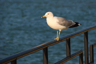 Photo: #BirdPoker: Gulls, curated by +Phil Armishaw  Not doing much, just balancing on a railing. Nothing to see here.