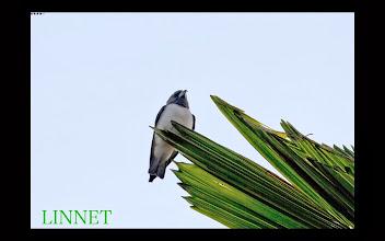 Photo: 超珍鳥 モリツバメ スズメ目 モリツバメ科  ( White-breasted Wood Swallow )