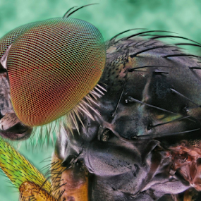 My Self.... by Vincent Sinaga - Animals Insects & Spiders ( extreme, my self, fly, insect, animal )