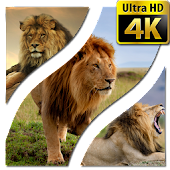 Wallpapers Lion 4K UHD