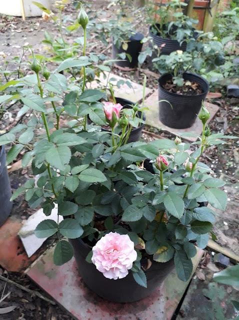 Vào tay tôi, ở đợt nở hoa này, đường kính của hồng Tezza đã nhỏ hơn chỉ còn 5cm!