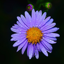 Aster après l'orage by Gérard CHATENET - Flowers Single Flower