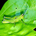 Small Speckled Lime Green Grasshopper Nymph