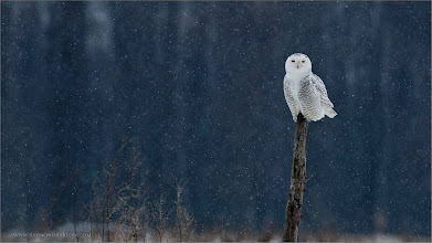 Photo: Quiet Solitude  A snowy owl lives a peaceful life in the wilderness. My friend Eric Dumigan and I found this bird in rural Ontario, sitting quietly on this old broken tree.  Miles away from any highway, so quiet with light snow falling, she sat there and allowed us to approach for a few shots, then we simply turned and left it be to live its life as it should, without human interference.  Easily, one of my favorite memories and such an image to help bring back the amazing feeling while enjoying such a beautiful bird and its surroundings.  please respect our natural world.      Snowy Owl re-edit RJB Wild Birds of Ontario Workshops ray@raymondbarlow.com No bait used Nikon D70 ,Nikkor 80-400mm f/4.5-5.6D ED VR AF 1/1250s f/5.6 at 400.0mm iso200  #birds  #birds4all  #birdsgallery  #birdloversworldwide  #btpbirdpro #btpbridpro  #btpbird