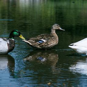 the three happy ducks by Kiril Kolev - Animals Birds (  )