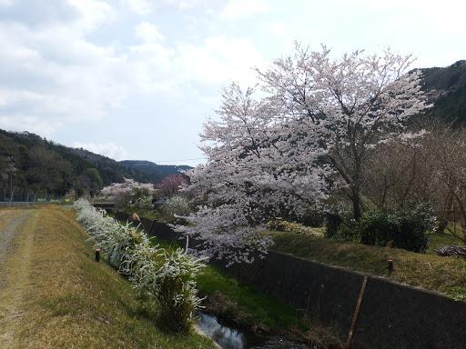 土手の桜を見ながら歩く