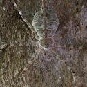 Long-spinnered Bark Spiders