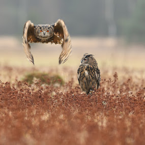 He & She II. by Bencik Juraj - Animals Birds ( flying, bird of prey, pair, birds, owls,  )