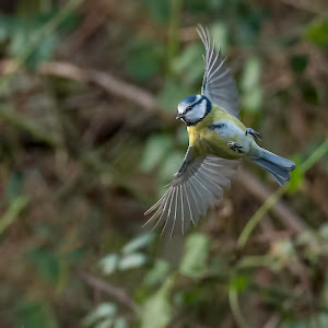 Blue Tit Flight.jpg