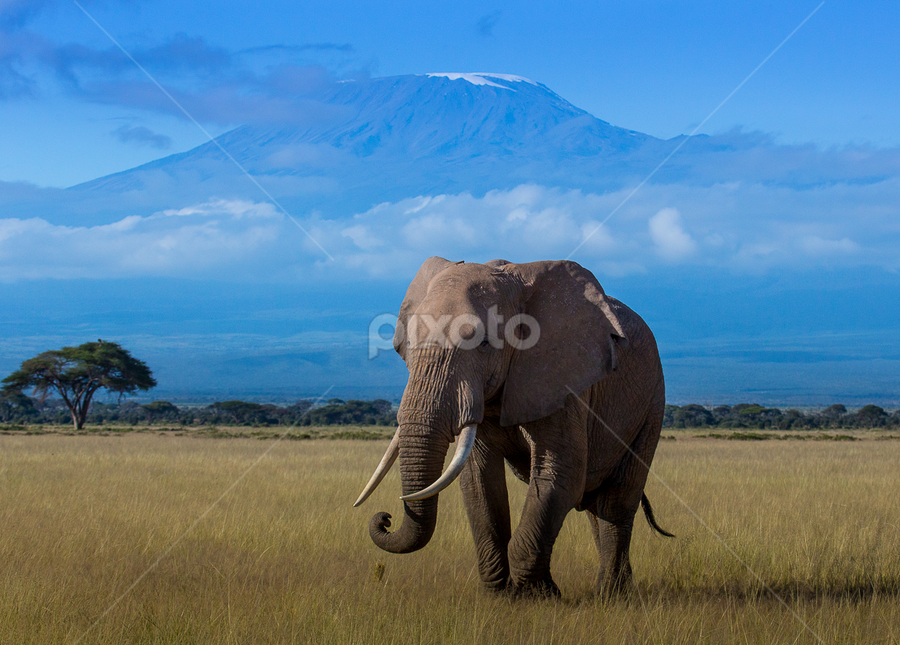Elephant in the Shadow of Kilimanjaro by Ralph Brown - Animals Other Mammals