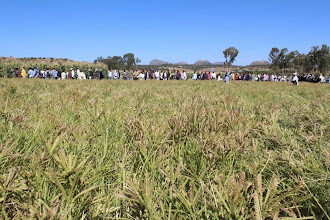 Photo: Finger millet grown with the System of Finger Millet Intensification. Field day in Tigray, EthiopiaEthiopia. 2012. [Photo from Tareke Behre]