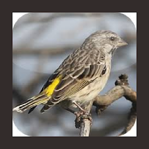Kicau Burung Blackthroat Super Apk Download Apkpure Ai