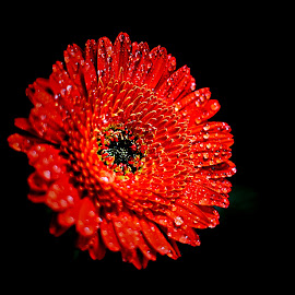 Gerbera by Pieter J de Villiers - Flowers Single Flower