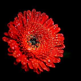 Gerbera by Pieter J de Villiers - Flowers Single Flower