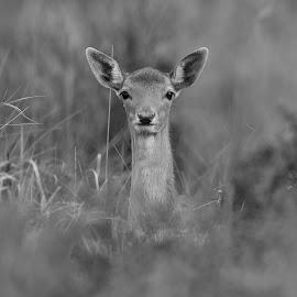 Fallow Deer by Ronnie Bergström - Animals Other ( deer, b&w, gray, sweden, nature, grass, animals, black and white, fallow deer, portrait, wild, wildlife )