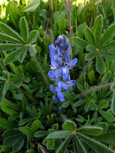 Photo: Lupinus micranthus